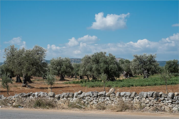 Southern Italian Olive Trees