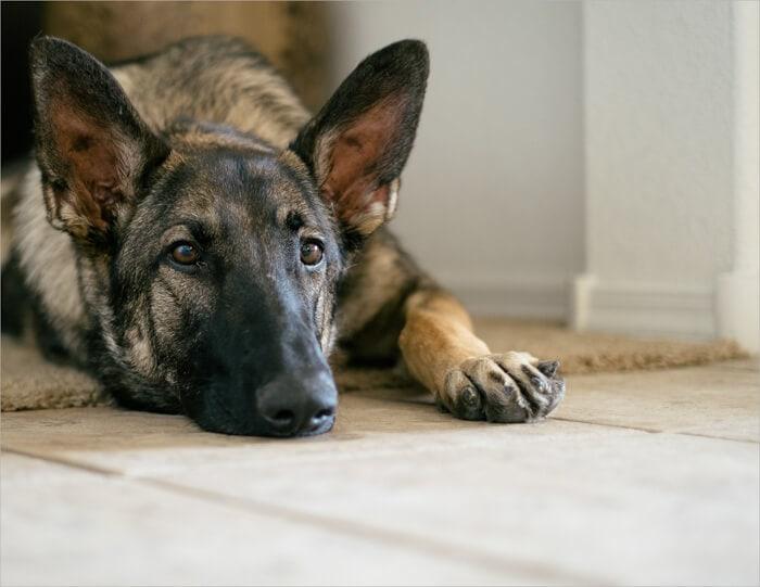 Our German shepherd Arya
