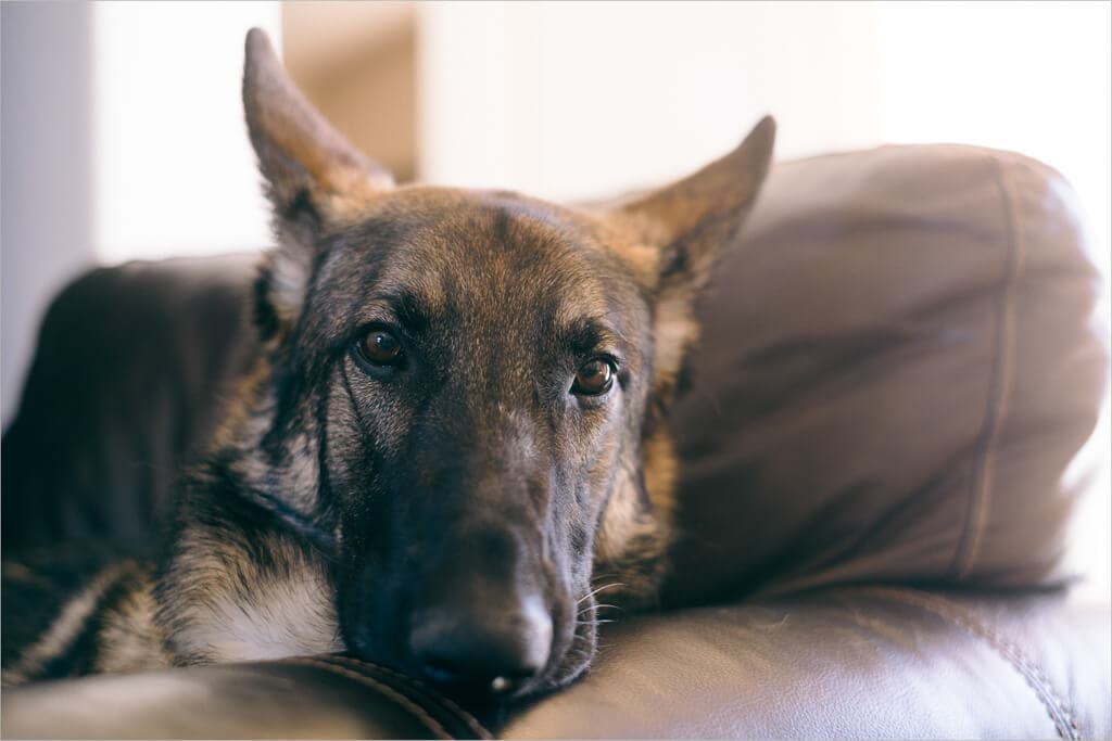 My German shepherd, Arya