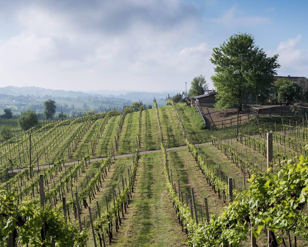 Vineyards Northern Italy Conegliano
