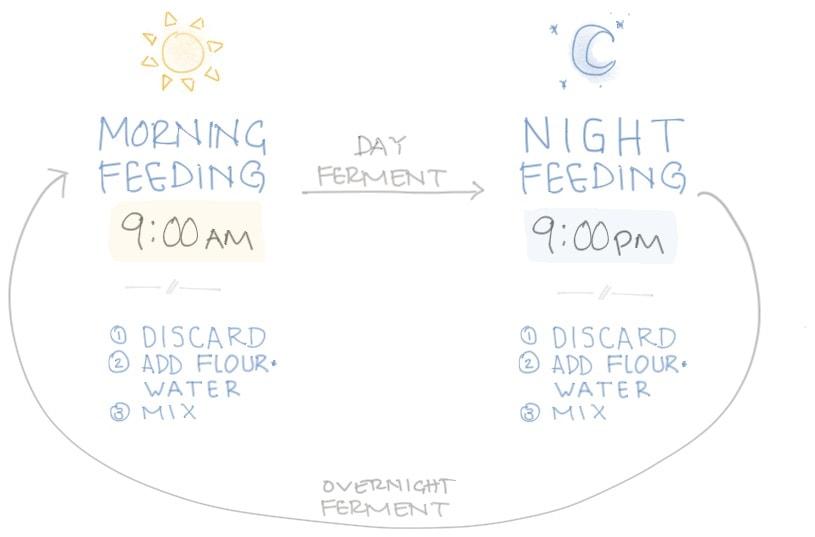 Sourdough starter feeding cycle